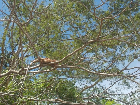 Maleku Tours: Mr and Mrs Iguana
