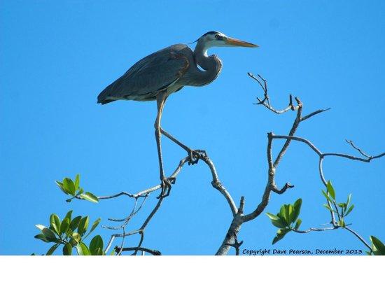 Yucatan Outdoors: Great Blue Heron - Sian Ka'an Lagoon