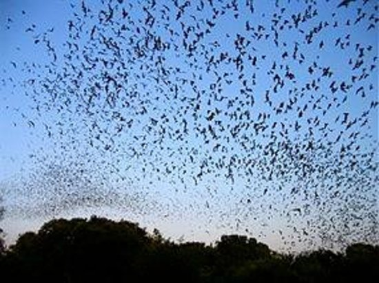 Charters Towers Visitor Information Centre: Fruit Bats