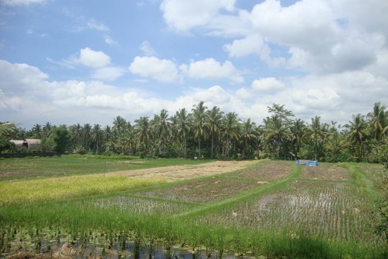 The Samara : rice fields