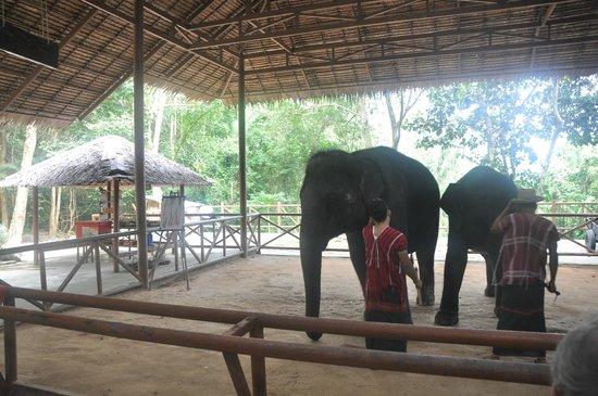 Siam Safari: Young elephants show