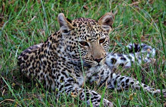 Sanctuary Stanley's Camp: Leopard cub