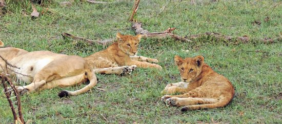 Sanctuary Stanley's Camp: Lion cubs