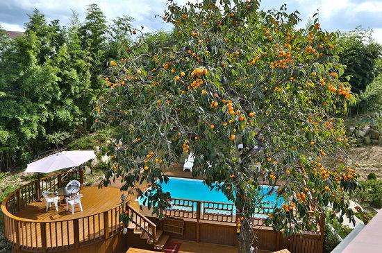 Bellus Rose Pension: a persimmon tree in full bearing