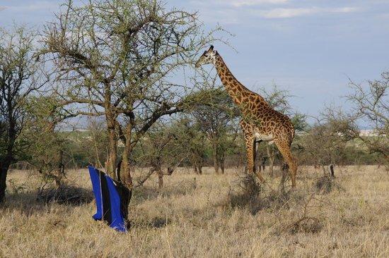Serengeti Wildcamp: girafs went by for breakfast