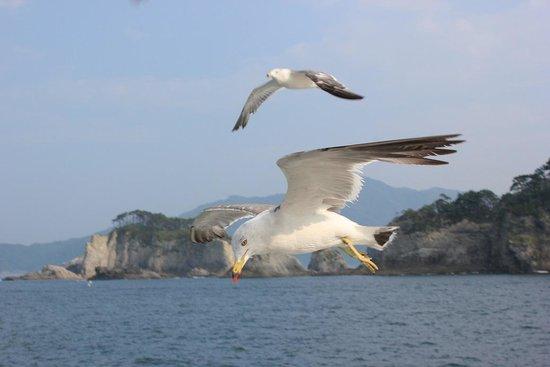 Miyako Jodogahama Boat Cruise : 船に接近するウミネコ