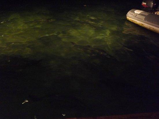 Tarpon/Sabalo @ Dinghy Dock