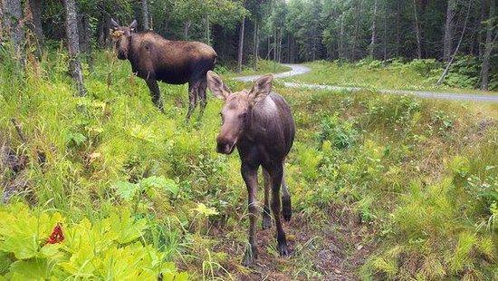 Krog's Kamp Lodge and Cabins: moose