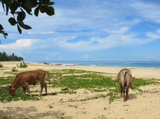 Popa Paradise Beach Resort: Cows on the beach during day trip on the catamaran
