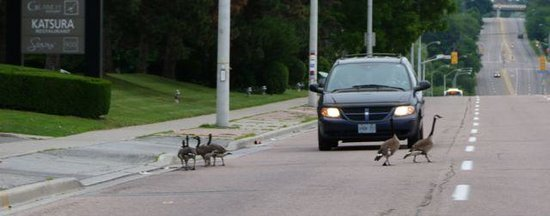 The Westin Prince Toronto: Canada geese stopping traffic.
