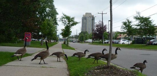 The Westin Prince Toronto: Love the Canada geese.