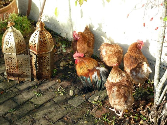 Lower Crabb Country House B&B : Hens warming up in sun