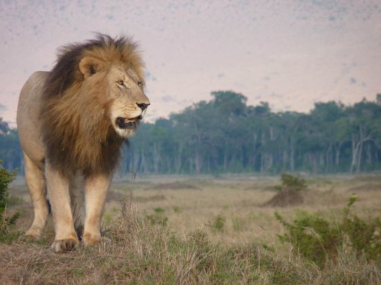 Governors' Il Moran Camp : KING LION