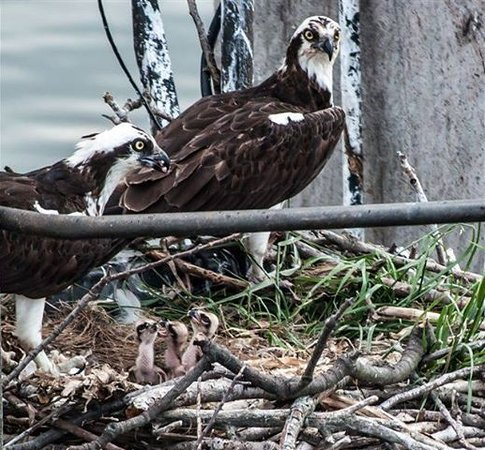 Patriot Cruises: The osprey babies taken from The Patriot