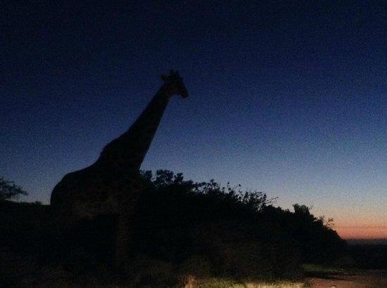 Kariega Game Reserve - All Lodges : Giraffa vicino allo chalet