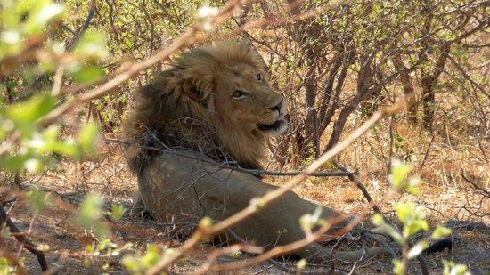 Mazambala Island Lodge : LION AT REST AFTER KILL NEAR MAZAMBALA ISLAND