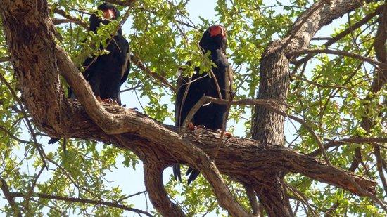 Mazambala Island Lodge : BATELEUR EAGLES