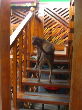 Physis Caribbean Bed & Breakfast : Vida, our favorite chocolate lab!