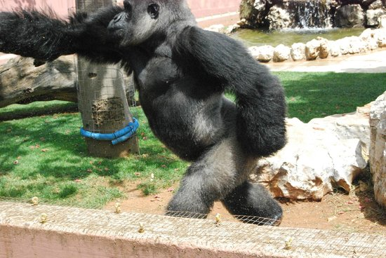 Fasano, Itália: Il gorilla dello zoo