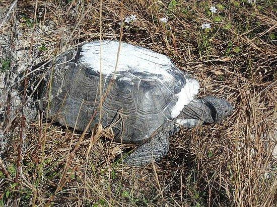 Bowditch Point Park : Gopher Tortoise
