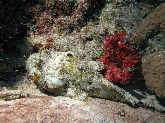Aquanauts Dive Shop: scorpion fish