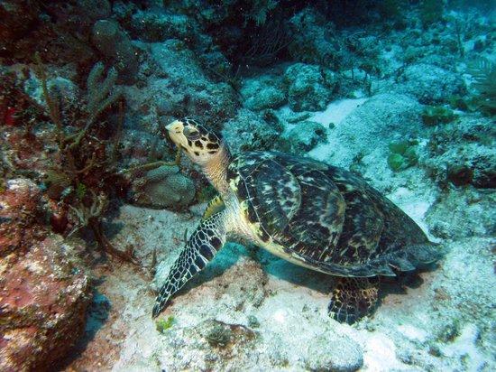 Aquanauts Dive Shop: turtle