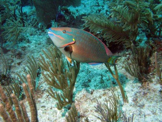 Aquanauts Dive Shop: parrot fish