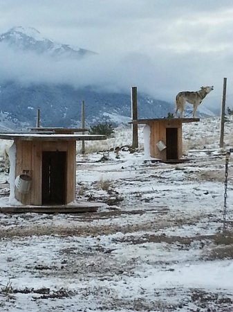 Absaroka Dogsled Treks: Howling in the fog