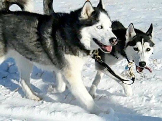 Absaroka Dogsled Treks: Wyle E. Coyote and Chinook