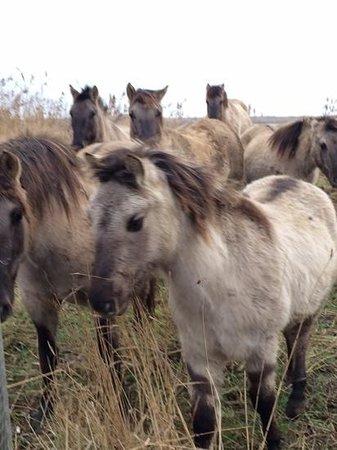 RSPB Minsmere: konik ponies at Minsmere