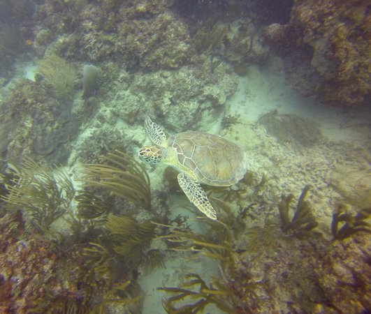Casa del Mar Scuba Diving: turtle