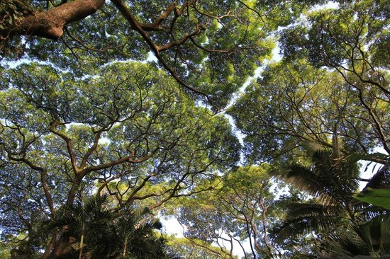 Canopy of trees picture of hawaii tropical botanical for Canopy of trees