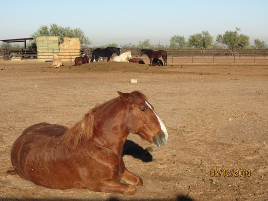 White Stallion Ranch: Horses having a well deserved rest