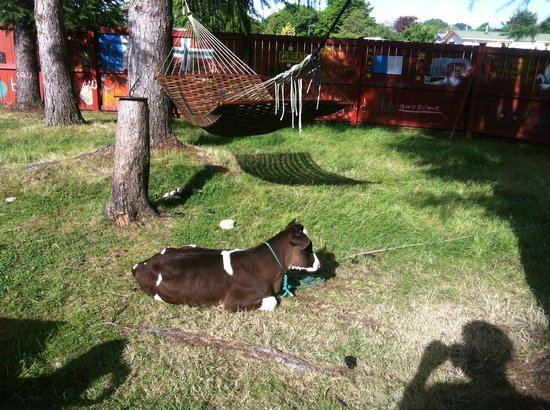 A Plus Backpackers Lodge: A cow in the backyard :)