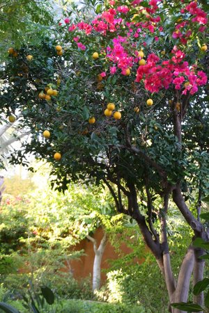 Royal Palms Resort and Spa: Grapefruit trees