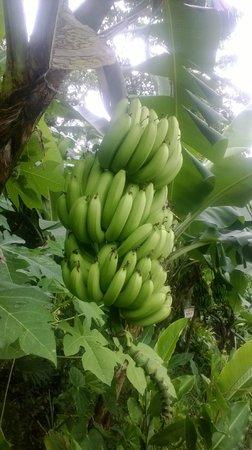 Fond Doux Plantation & Resort : bananas growing at Fond Doux