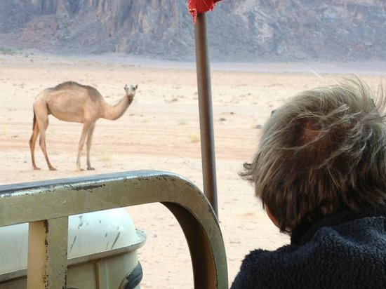 Mohammad Mutlak Camp : Camel in Wadi Rum