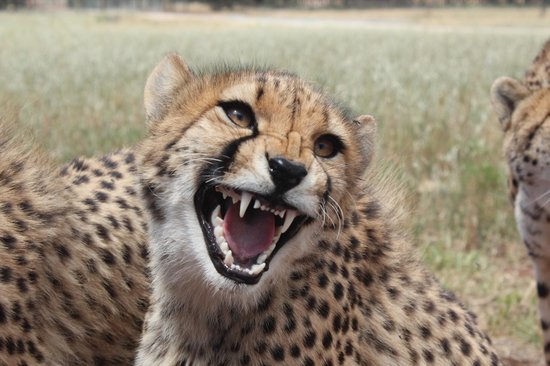 Monarto Zoo: A cheetah's welcome