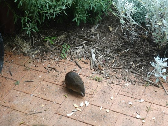 Toby Inlet Bed & Breakfast: One of the resident bandicoots enjoying breakfast