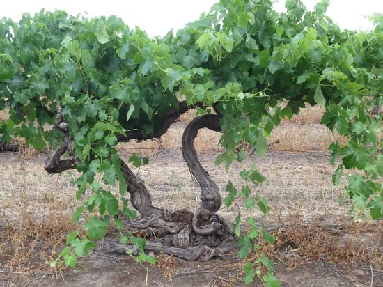 The Paddocks: Vines