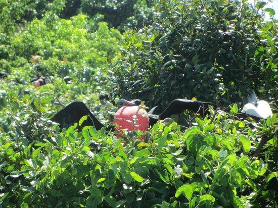Half Moon Caye National Monument: frigate bird