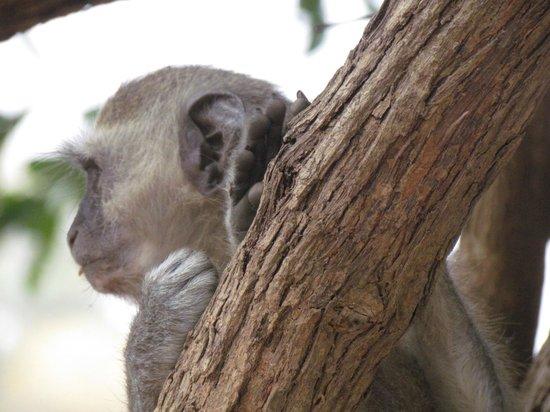 Croc Valley Camp : cute vervet monkeys