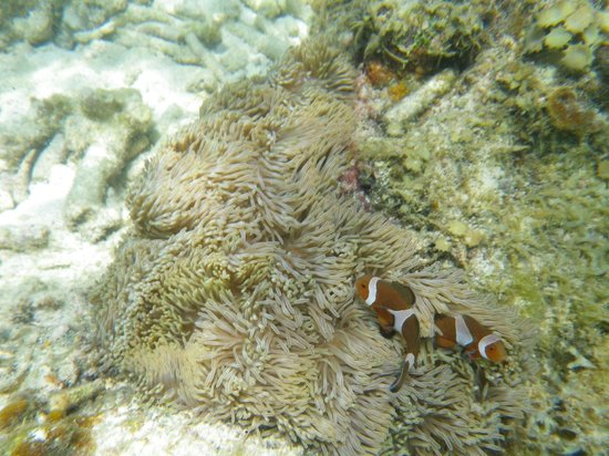 Coral View Island Resort: Poissons clowns