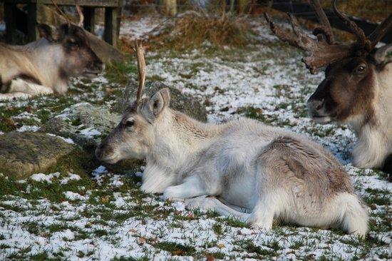 Cairngorm Reindeer Herd: Reindeer paddocks