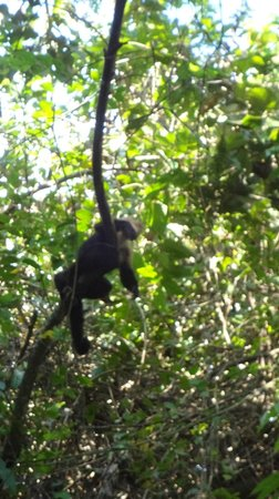 Lapa Rios Ecolodge Osa Peninsula: Monkey that hung out with us for a while.