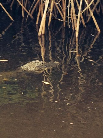 Everglades City Airboat Tours: Gator