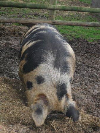 Lower Drayton Farm: Big Pig