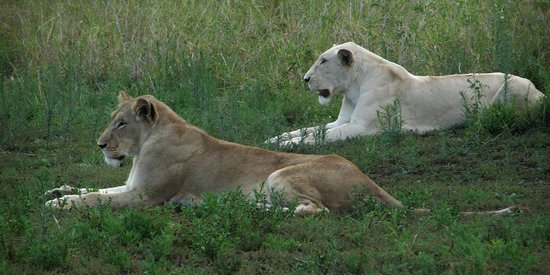 Elandela Private Game Reserve : Brown and white lioness