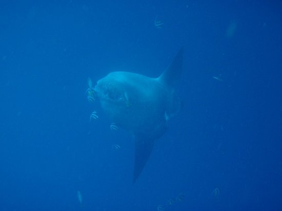 Lembongan Dive Center : Mola mola en Sental