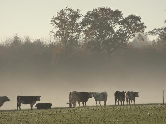 Le Moulin de Blochet: Les vaches dans la brume.